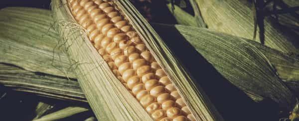 Sonhar com espiga de milho