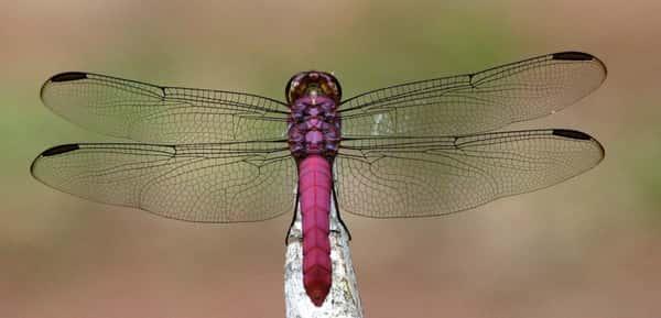 Sonhar com libélula