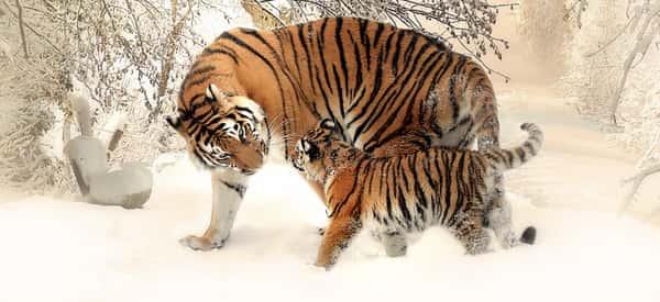 Sonhar com tigre no Jogo do Bicho