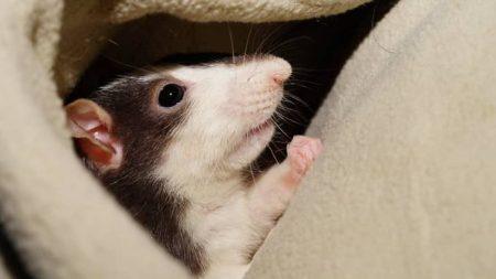 Sonhar com rato no Jogo do Bicho