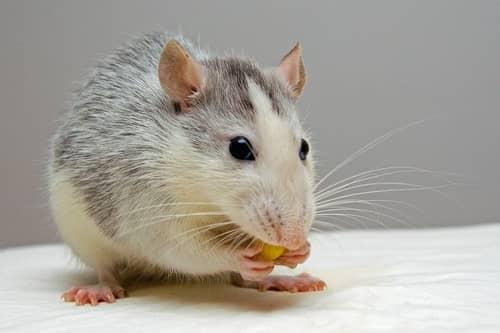 Rato cinza