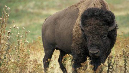 Sonhar com búfalo