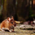 Sonhar com filhote de rato