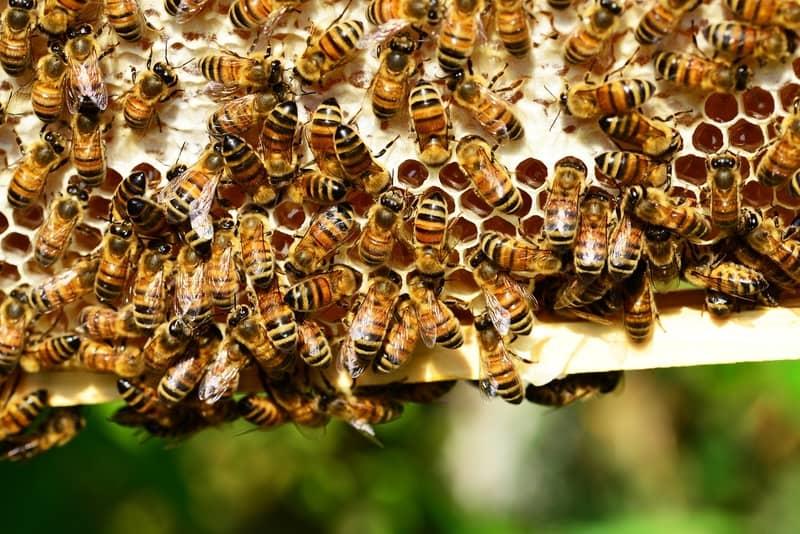 Sonhar com enxame de abelhas