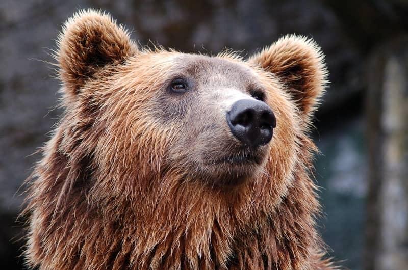 Sonhar com urso no Jogo do Bicho