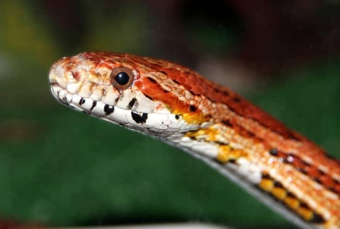 Cobra preta e vermelha
