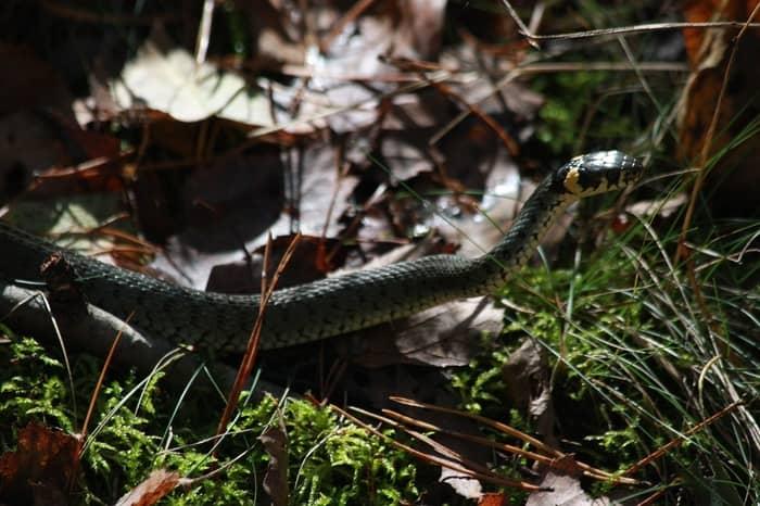 Ninho de cobra