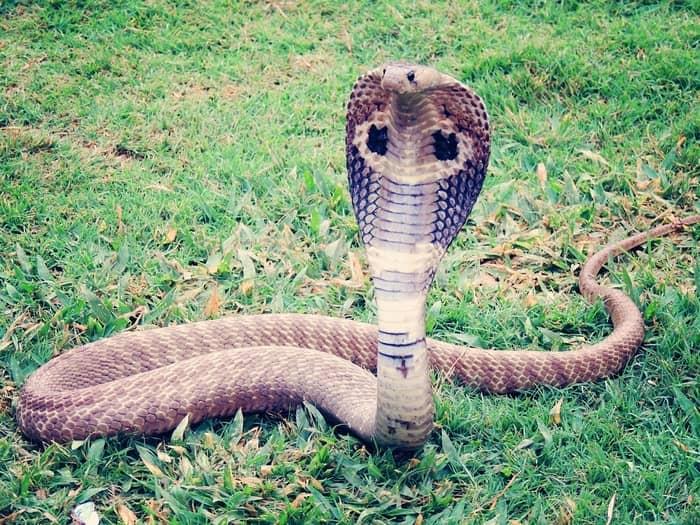 Cobra naja olhando