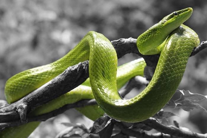 Sonhar com uma cobra saindo da boca é um sinal negativo?
