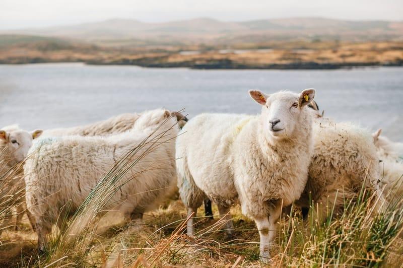 Sonhar com carneiro no Jogo do Bicho